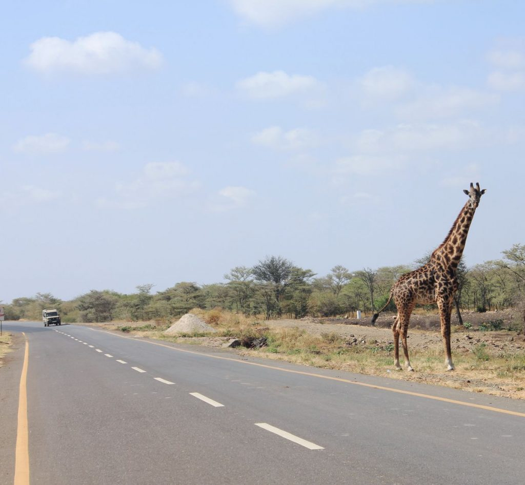 Giraffe on a Tanzania Road