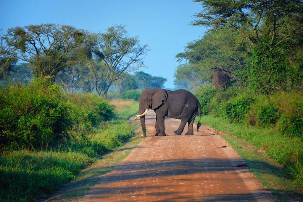 Uganda Road with young elephant
