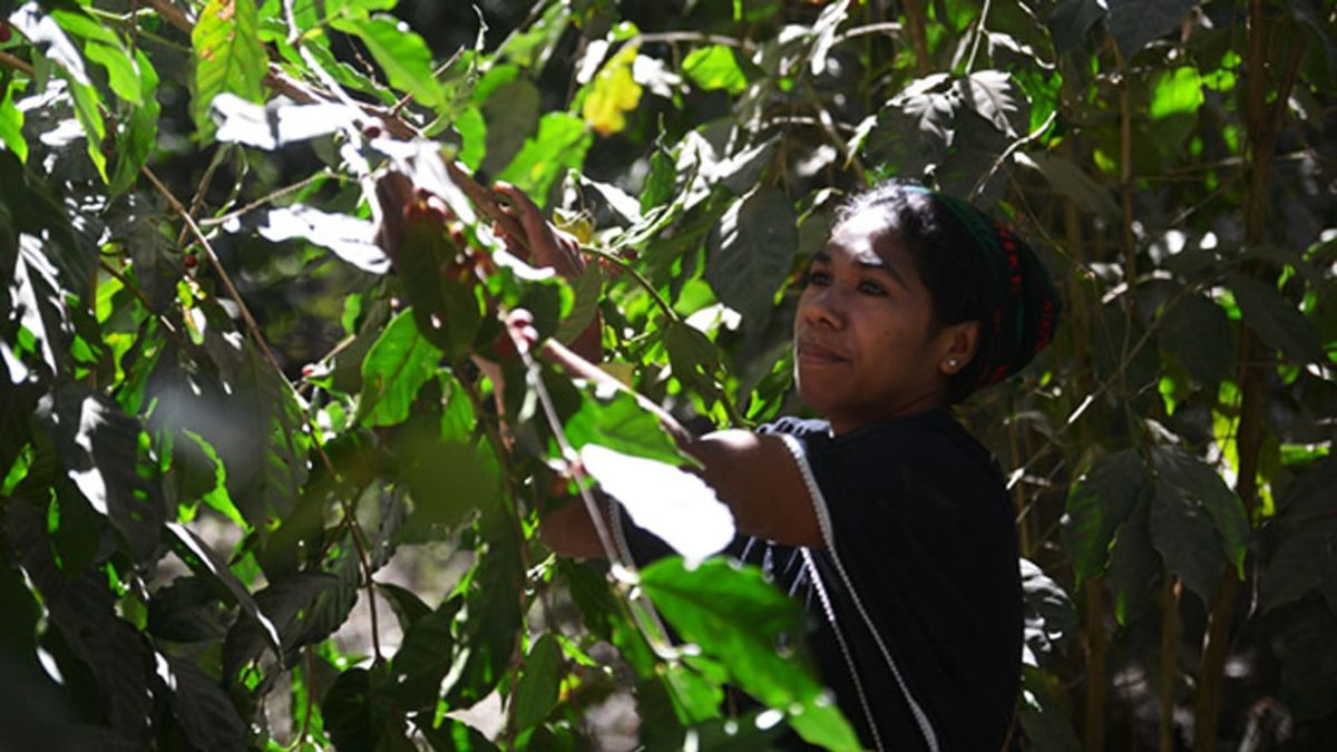 Anarela Mendoça, a coffee farmer from Timor-Leste central highlands, picking the prized Hibrido de Timor beans from her trees. These beans are then processed near her farm, for transport to the capital Dili, and beyond.