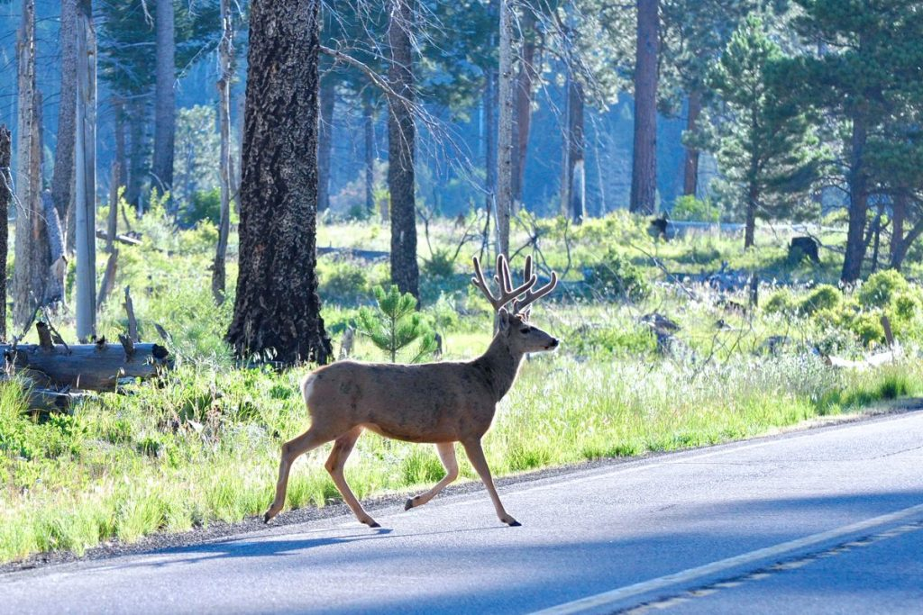 Deer crossing the road - Photo by Larry Lamsa