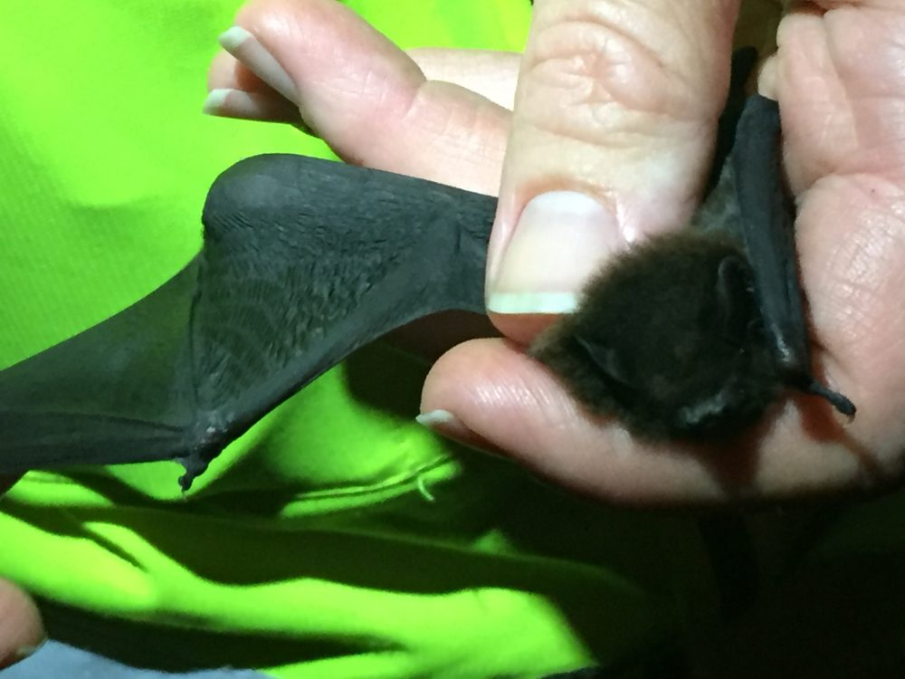 New Zealand researches bat behaviour on Southern Links road project