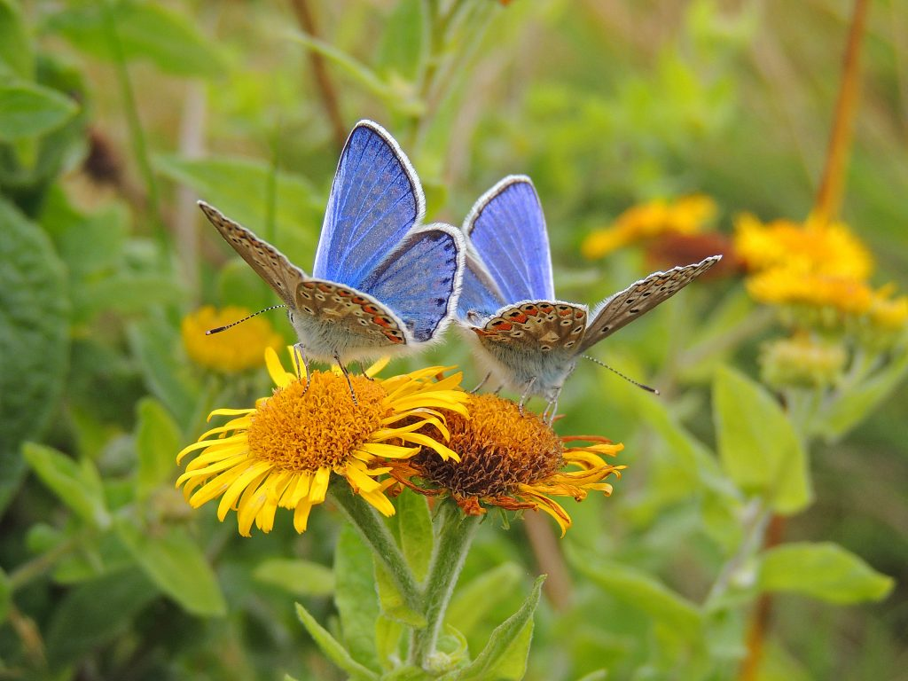 Common Blue Butterflies - Photo by Eskling