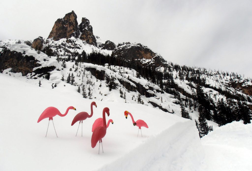 Floyd (right in hard hat) and his safety flamingo flock help mark dangerous areas for our avalanche and maintenance crews reopening the North Cascade Highway. The birds' bright pink colouring standing out against the snow and warn crews about hazardous areas.