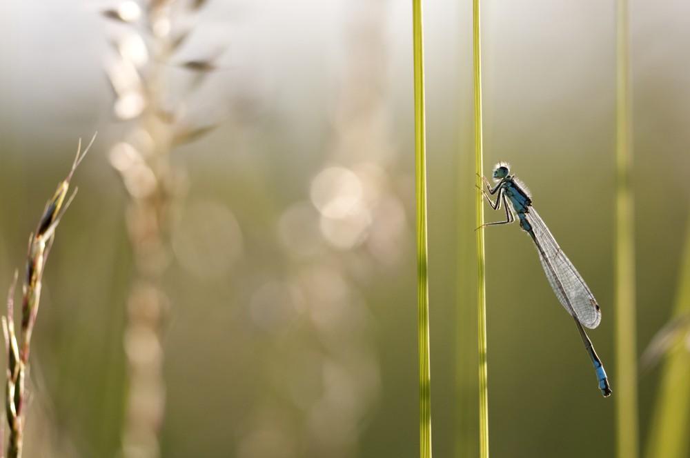 Common blue damselfly. Photo by Ross Hoddinott / 2020VISION