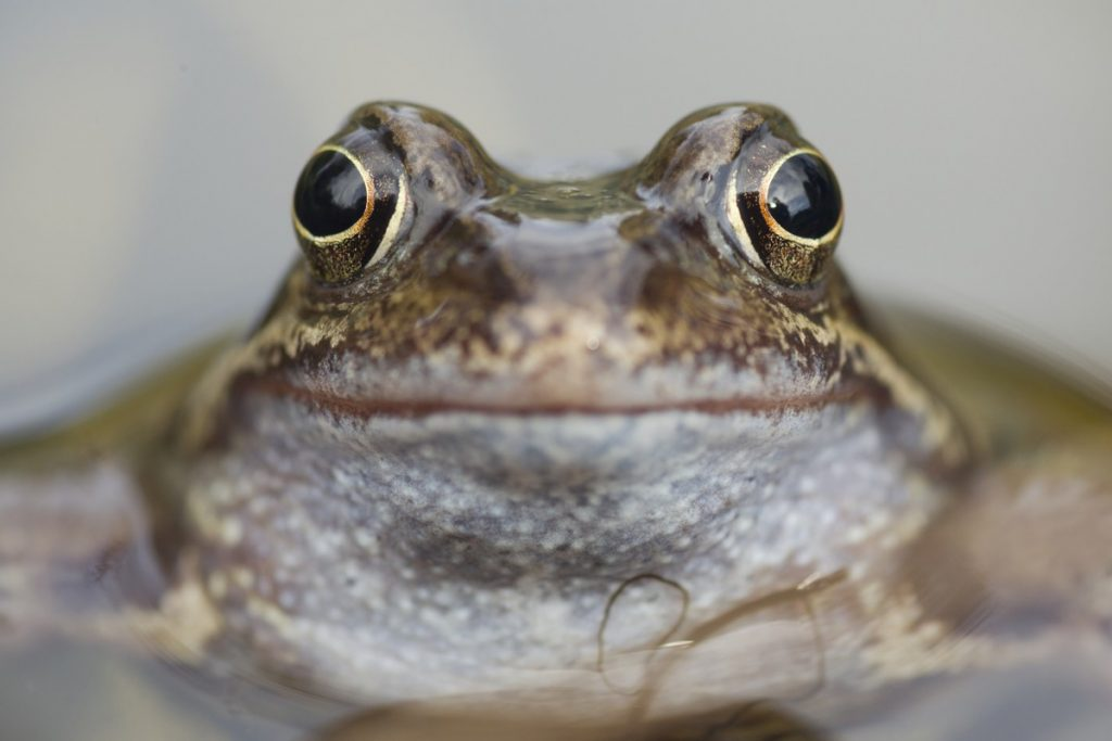 Common frog. Photo by Mark Hamblin / 2020VISION