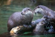 Highways England major road upgrade in Cornwall aims to be otter friendly