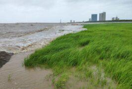 MIT studies how marsh grass protects shorelines
